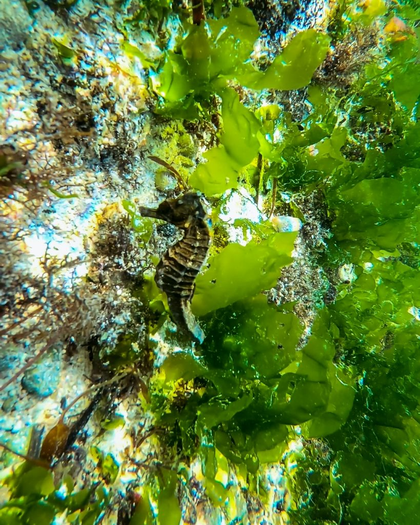 seahorse spotted at Thomas beach in Bali