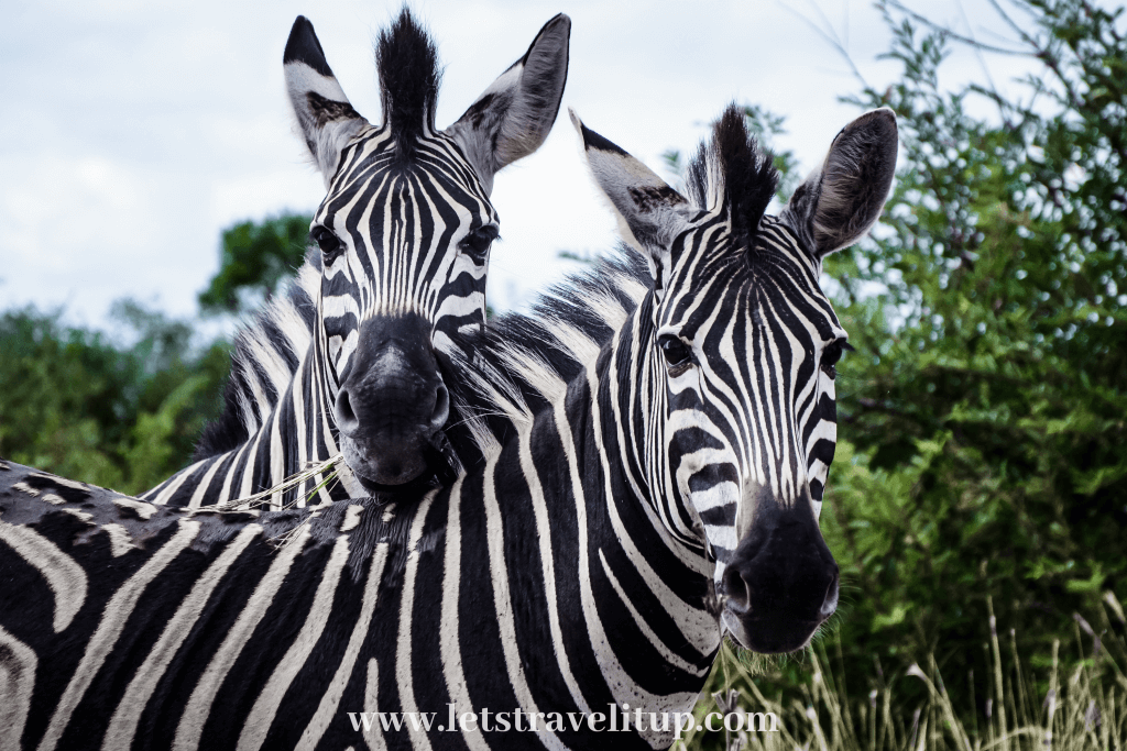 Two beautiful zebras enjoying life in the Kruger National Park in Mpumalanga, South Africa