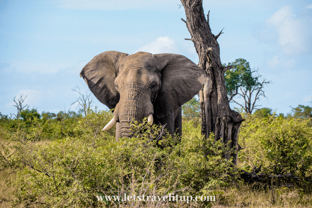 The African elephant in South Africa