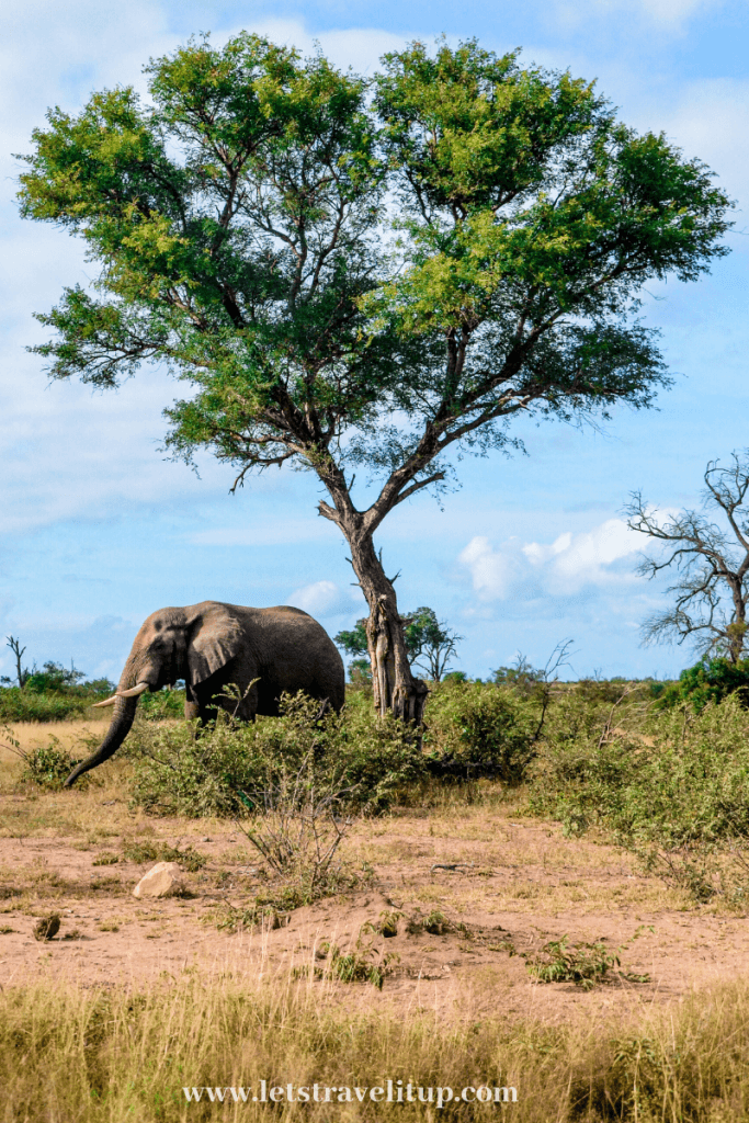 A beautiful African elephant enjoying the beautiful Kruger National Park in South Africa
