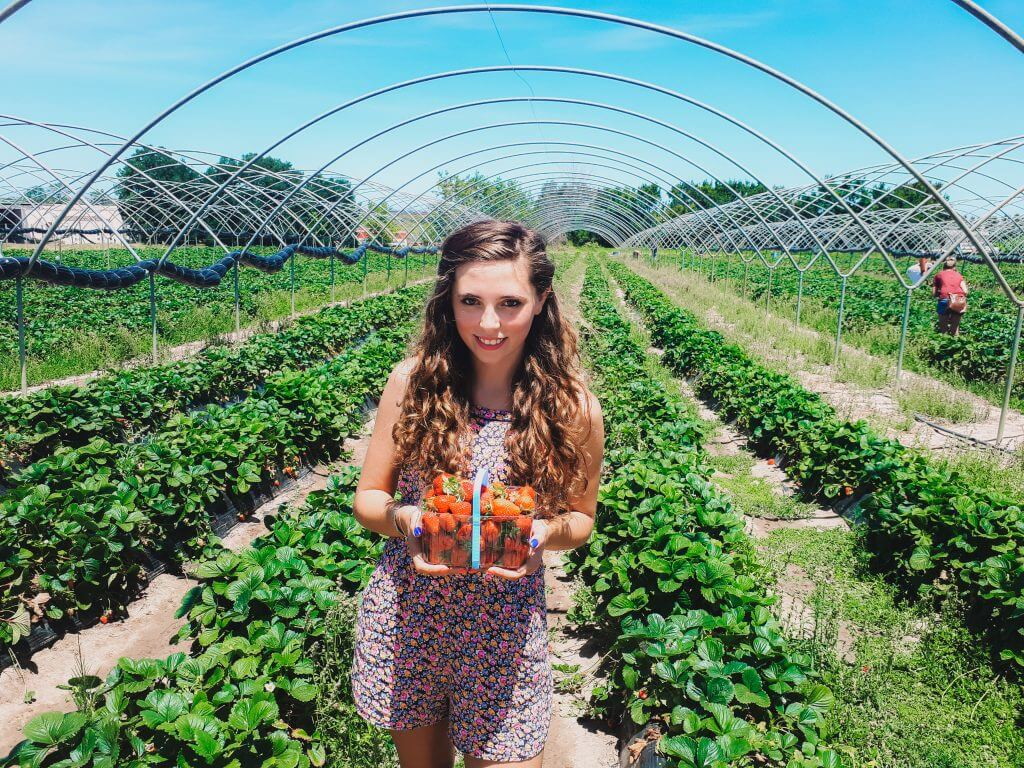 a girl with beautiful curly hair is picking strawberries at a strawberry farm in South Africa